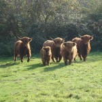 4 Vache Highland
