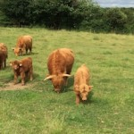 Highland cattle 11