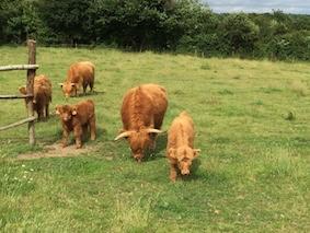 Highland cattle 11
