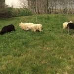 Mouton Landes de Bretagne 1