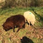 Mouton Landes de Bretagne 2