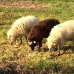 Mouton Landes de Bretagne 3