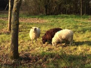 Mouton Landes de Bretagne 4
