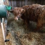 Vache Highland Cattle 25