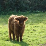 Veau Higland cattle